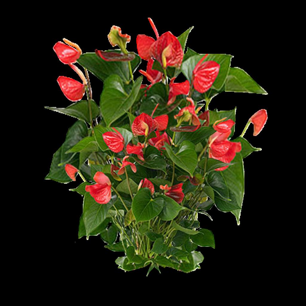 Jacey Anthurium Plant Texture Png 2010 10 24 23 48 860k