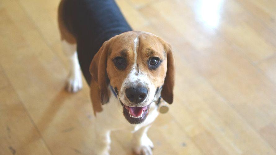 Caesar S Image Caesar Dogs Beagle