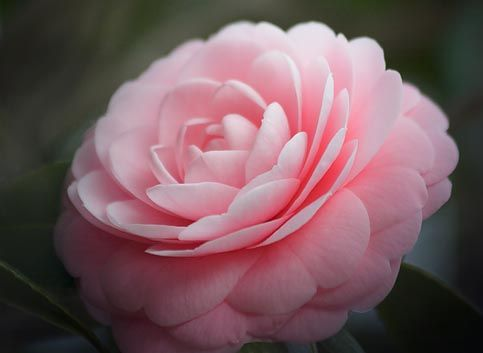 Camellia graciousness elegant creations flowers events more camillia flower my most favorite flower in the whole world mightylinksfo