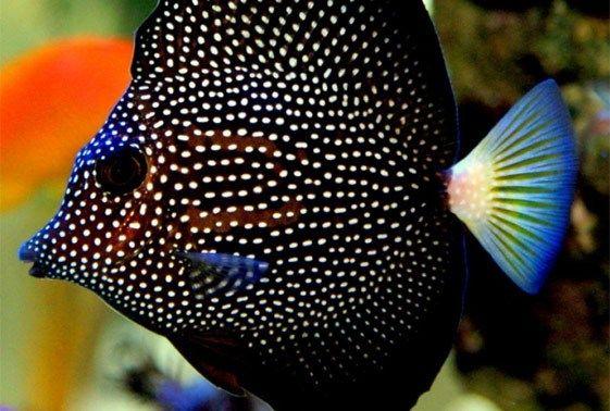 Gem Tang Fish Tang Fish Marine Fish