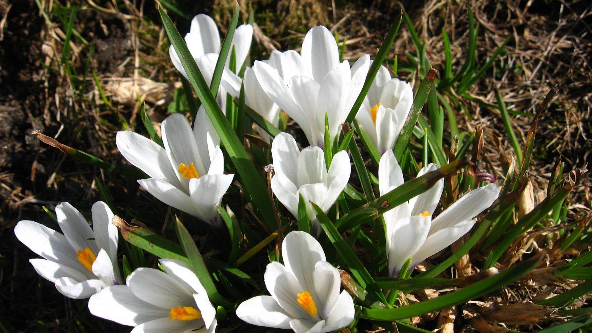 Flowers White Flower Crocus Corm Flowering Bulb Spring Picture New