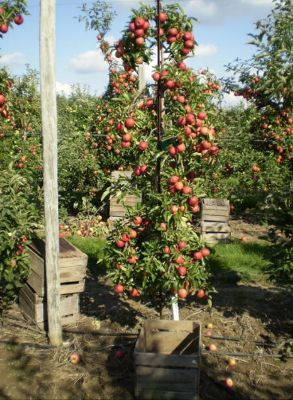 High Density Orchard Techniques Systems For Small E Gardening With Fruit Trees