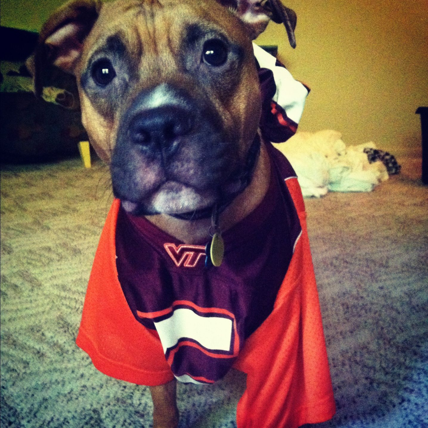 Ben in Florida shows his Hokie pride! I love dogs, Dogs
