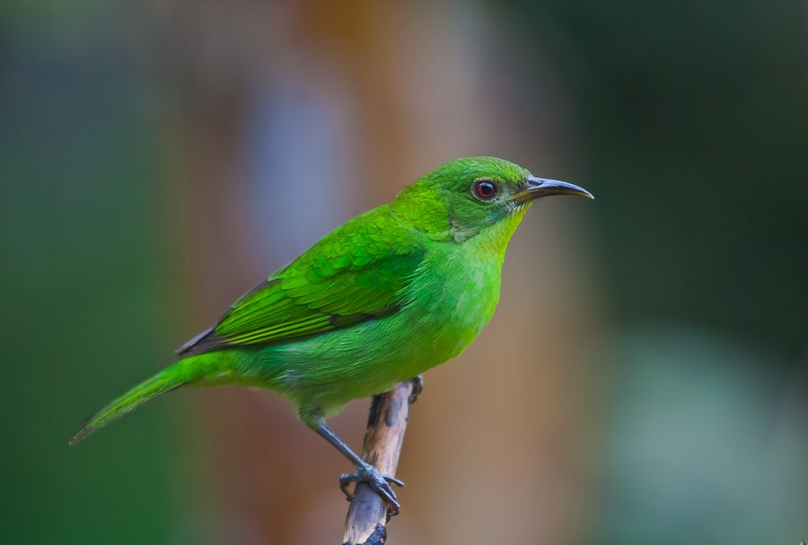The Green Honeycreeper, Chlorophanes spiza, is a small green tanager. One of the most distinctive features of this species is the slender, slightly decurved bill, which is mostly yellow.