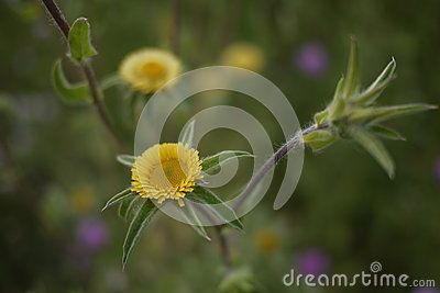 Short Petals Spiky Leaves Fury Leaves Mustard Yellow Bud Photos