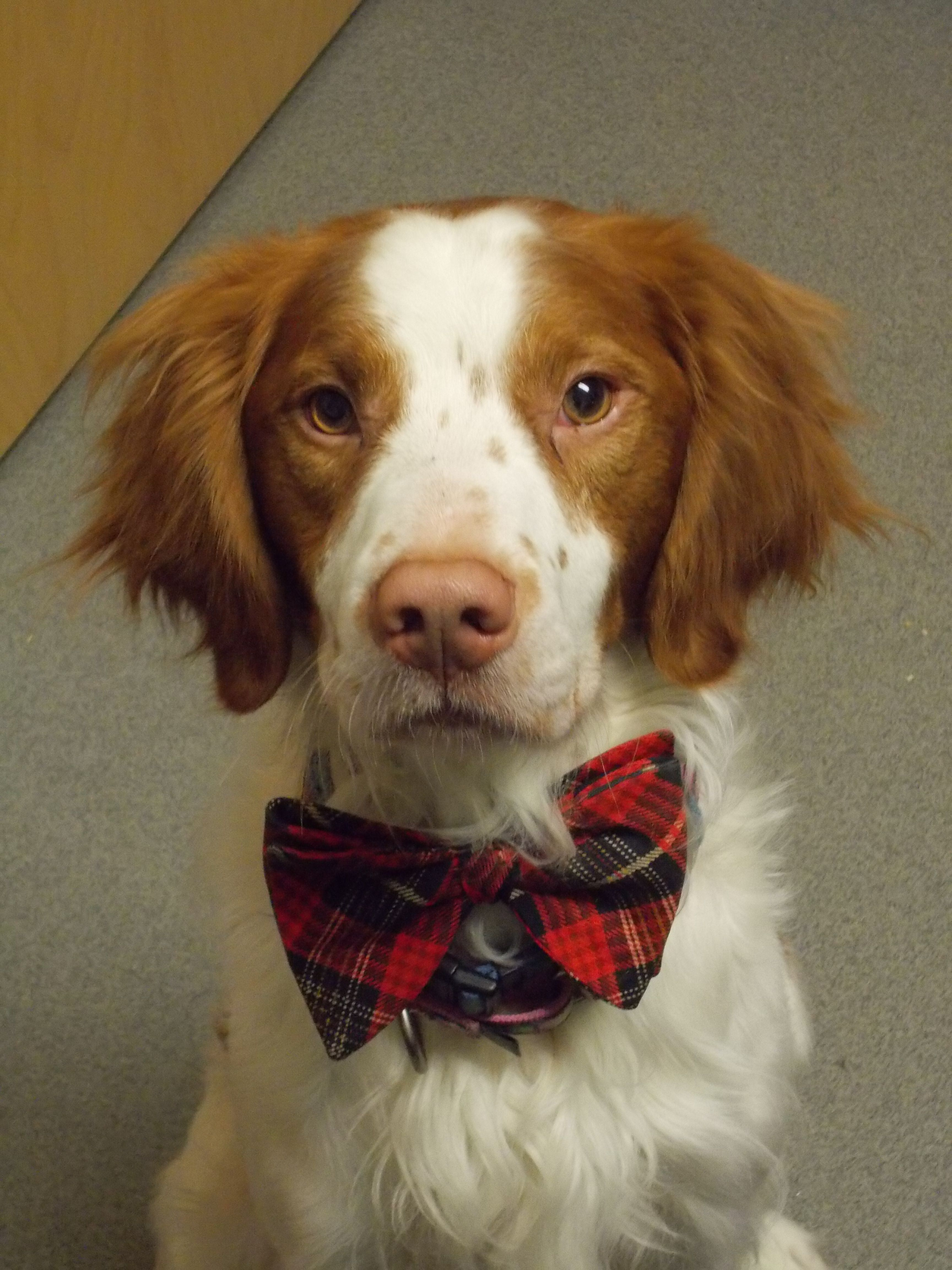 Boodles The Handsome Young Britt Brittany Dog Cutest Dog Ever Brittany Spaniel