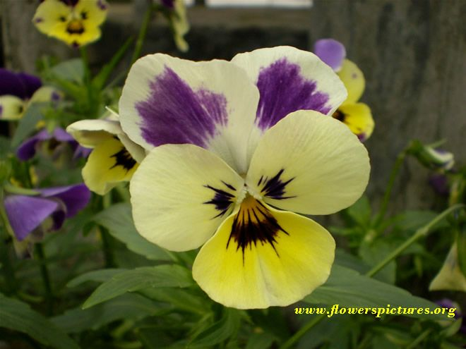Pansies Love The Little Faces Pansies Flowers Pansy Garden Pansies