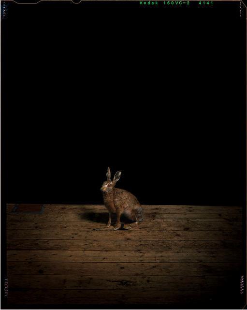 Sam Taylor-Wood, Studio Hare, 2011, C-print