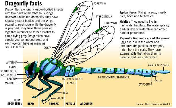Green Darner Dragonfly Life Cycle 97216 | MICROSEC