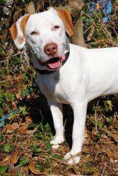 Adopt Ozzy Sponsored On English Pointer Dog Big Puppies