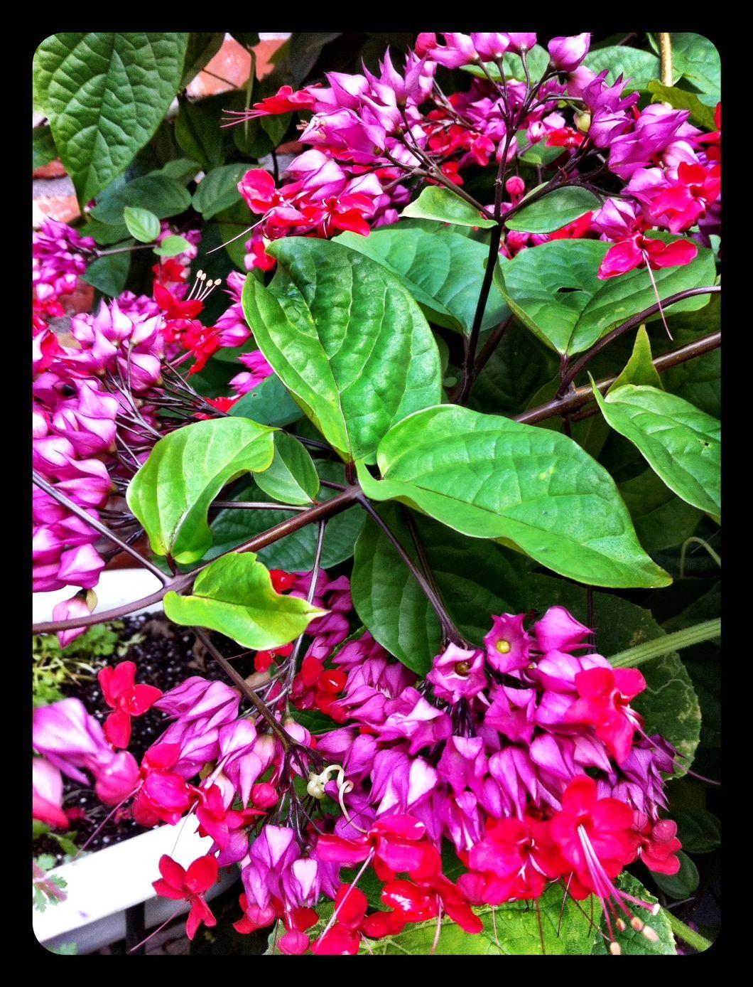 Reciprocity A Pleasant House Plants Bleeding Heart Planting Flowers
