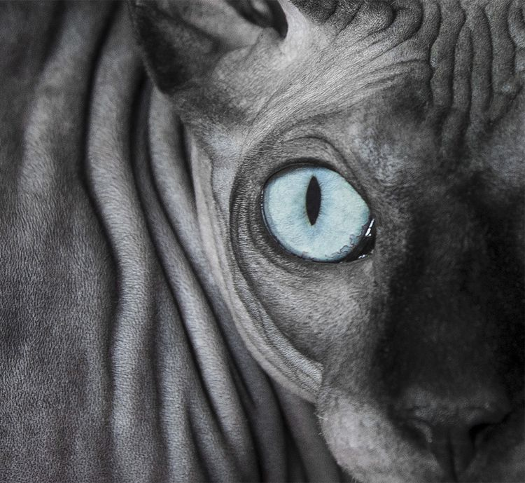 Fine Art Sessions Frame Your Pet Los Angeles Pet Photographer In 2020 Dwelf Cat Cat Breeds Sphynx Cat