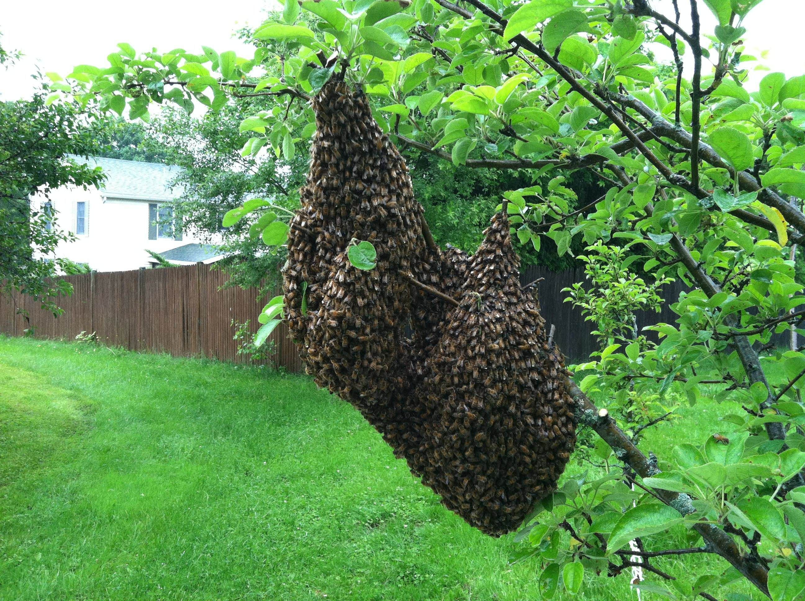 Understanding Honey Bee Swarms