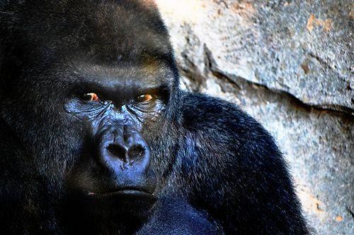 Gorila, look waaaaay too human