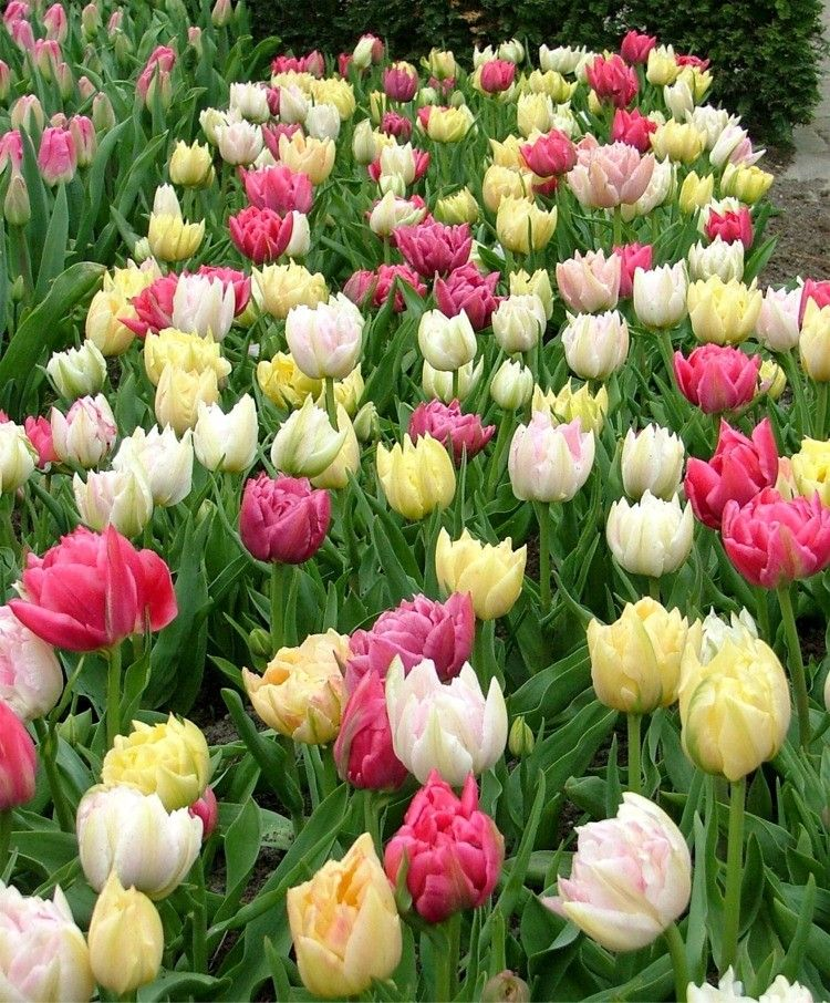 """Double Early Tulip Easter Egg Murillo Mixture Mixture This special mixture is white, pale pink, pale yellow and raspberry with an enchanting fragrance. Bulb size: 11 cm. Mid-April. 12"""". HZ: 3-7. 50/ 35.75 or 100/ 66.00"""