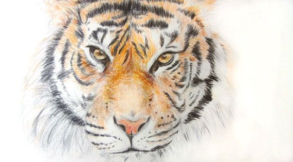 Tiger Animal Drawings