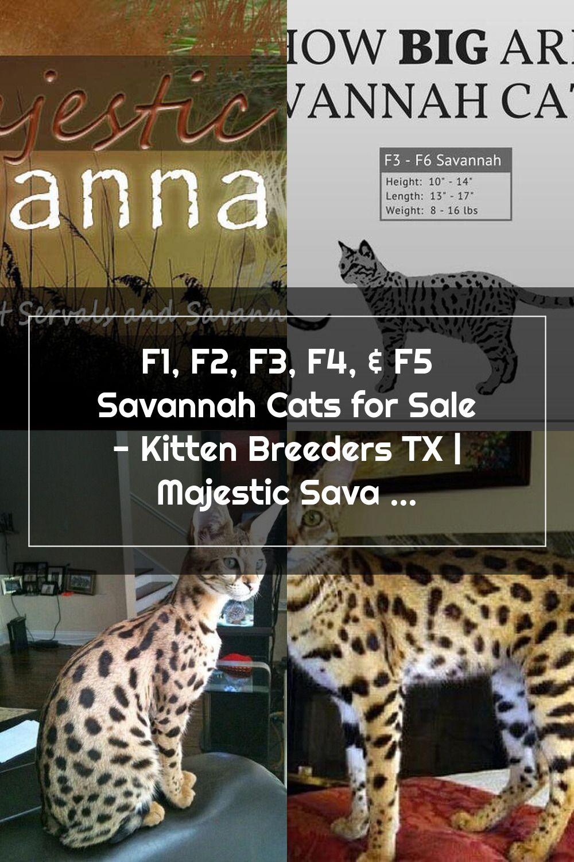 F1 F2 F3 F4 F5 Savannah Cats For Sale Kitten Breeders Tx Majestic Savannahs In 2020 F5 Savannah Cat Savannah Cat For Sale Savannah Cat