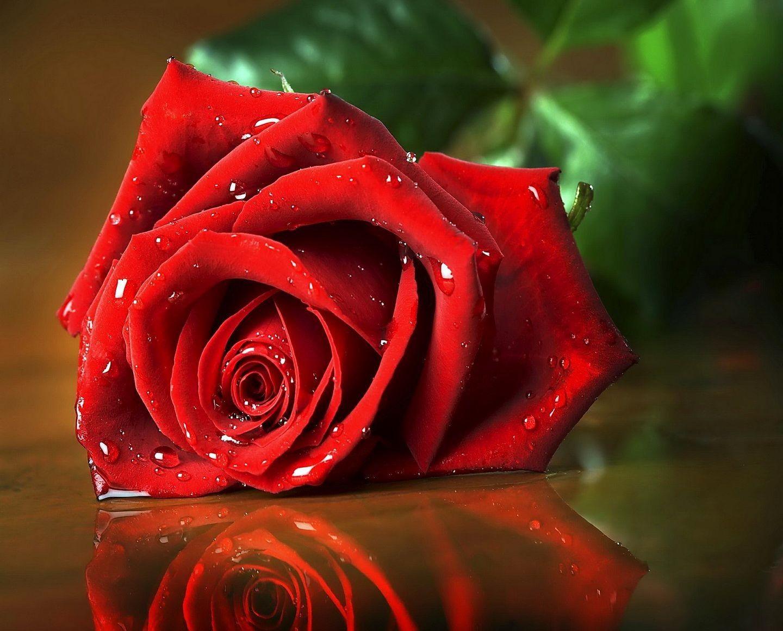 صور ورد طبيعي Beautiful Red Roses Rose Wallpaper Red Roses