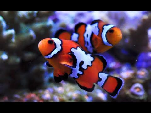 Black Picasso Clownfish With Images Clown Fish Fish Fish Pet