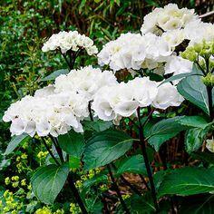 Zauberstab Hortensie Black Steel White Ball Online Kaufen Bei Gartner Potschke Hortensien Pflanzen Garten Pflanzen
