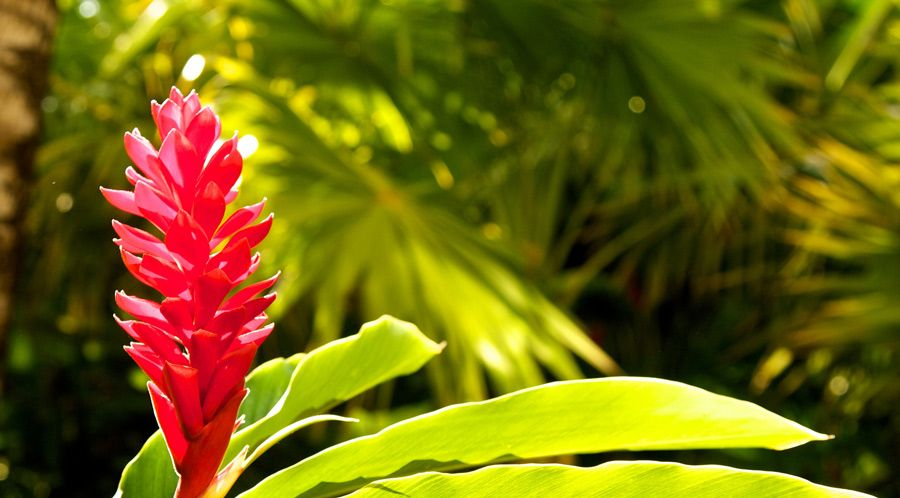 Which Gingers Are Edible Ginger Plant Ginger Flower Fragrant Plant