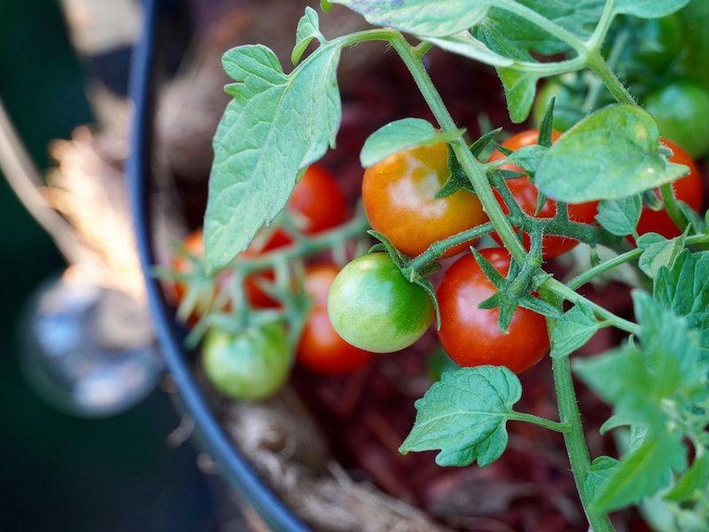 Super Vitale Tomaten Vorziehen Tomaten Anzucht Im Haus In 2020 Tomaten Garten Tomaten Pflanzen Tomaten