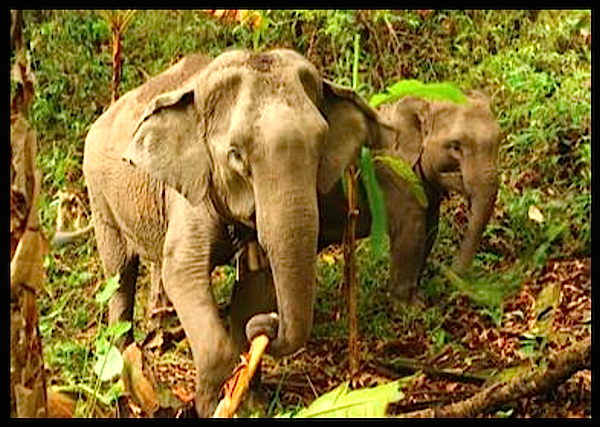 Mebai and her mama Mae Yui are allowed to roam free in the jungle sanctuary, but mahouts still keep a look out for them daily to make sure they are safe.  'UPDATE: Good News About Our Darling Reunited Elephant Mother and Daughter ' http://www.visiontimes.com/2015/04/29/update-good-news-about-our-darling-reunited-elephant-mother-and-daughter.html