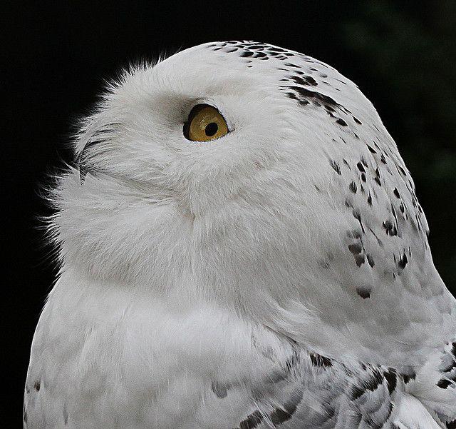 Snowy Owl - Schnee-Eule