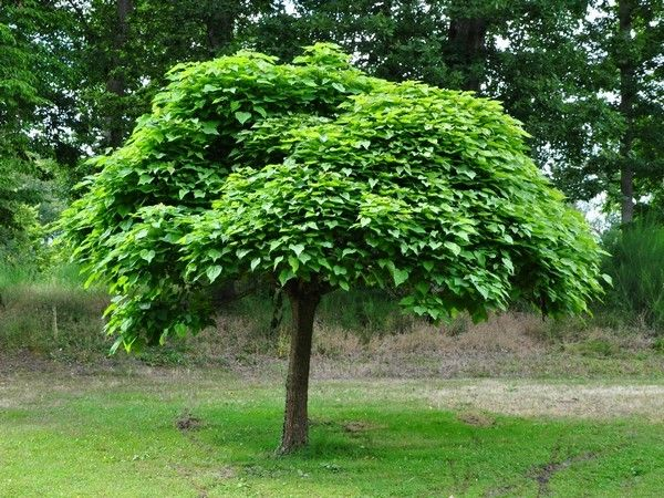 catalpa boule nain catalpa bignonioides 39 nana 39 get out pinterest plantes de jardin. Black Bedroom Furniture Sets. Home Design Ideas