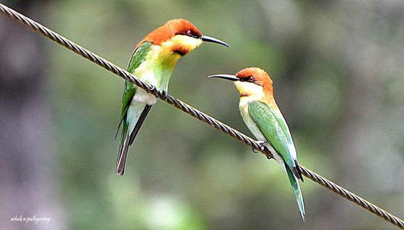 Chestnut-headed Bee-eater | Bee eater, Chestnut, Birds - photo#23