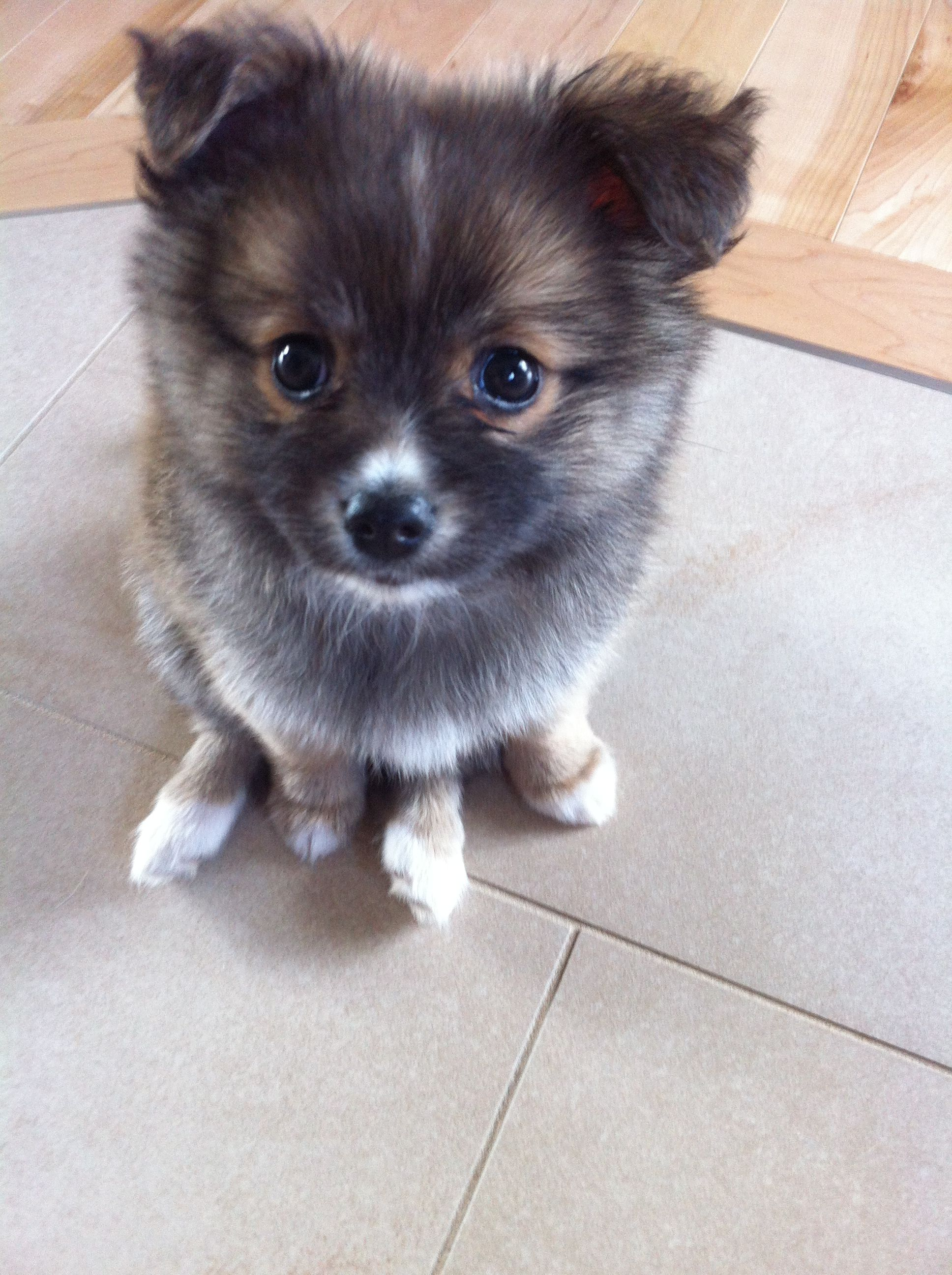 Pomchi Puppy Had A Dog Like This Back At Home In Cali He Was So