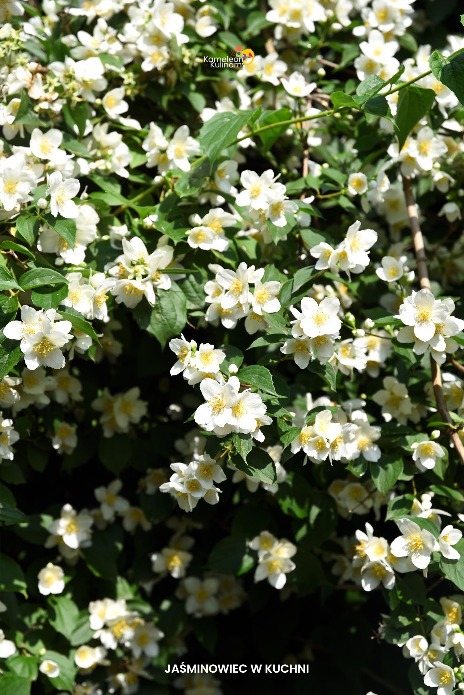 Syrop Z Kwiatow Platkow Jasminowca Jasminowiec W Kuchni Plants