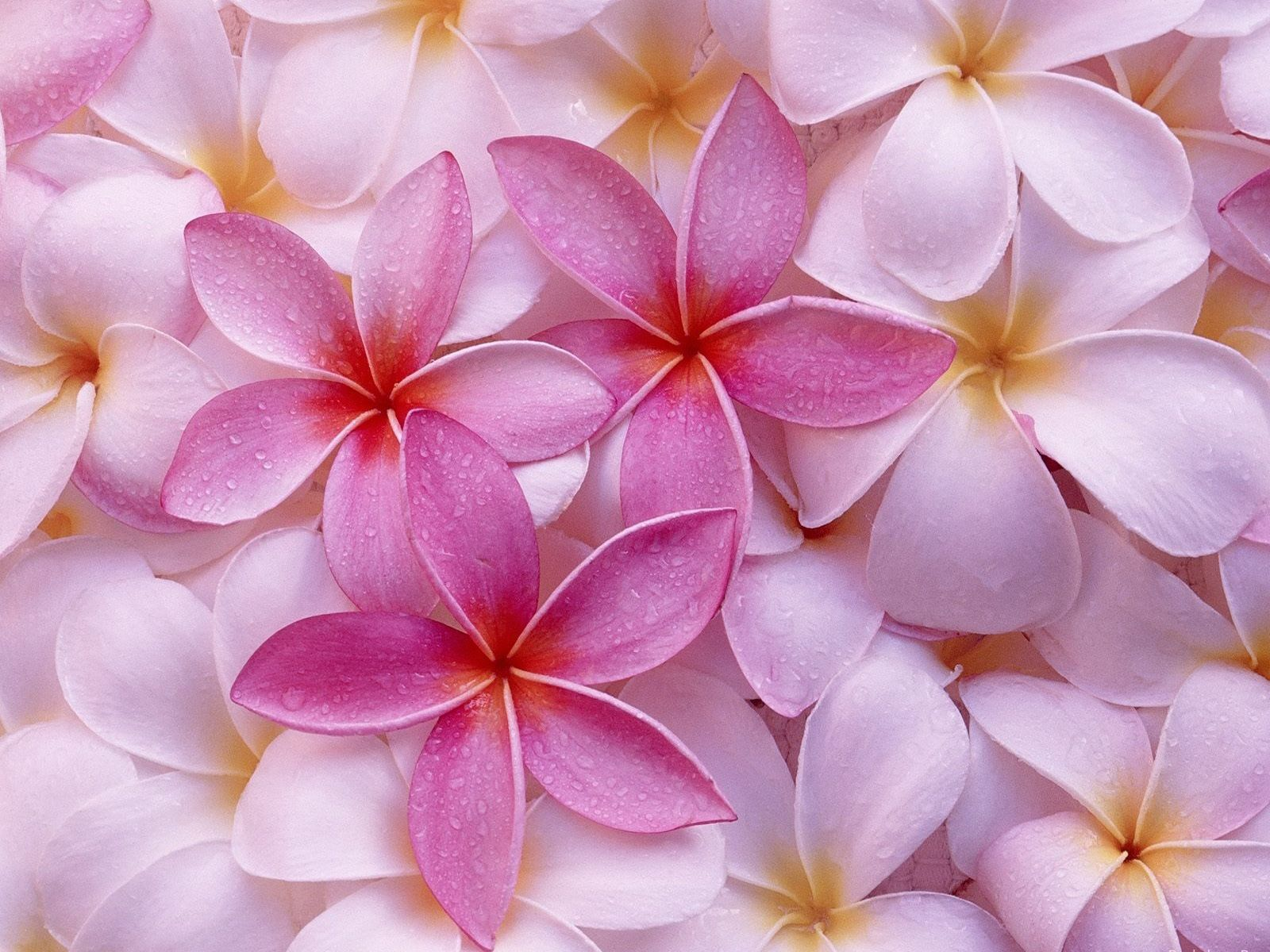 Pink Flowers Wallpaper 10290