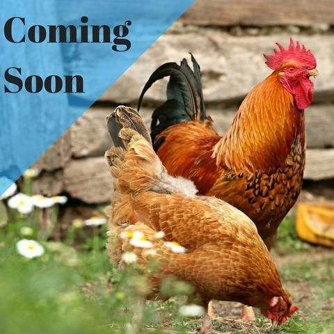 Introduction to Backyard Chickens - Heritage Acres Market LLC