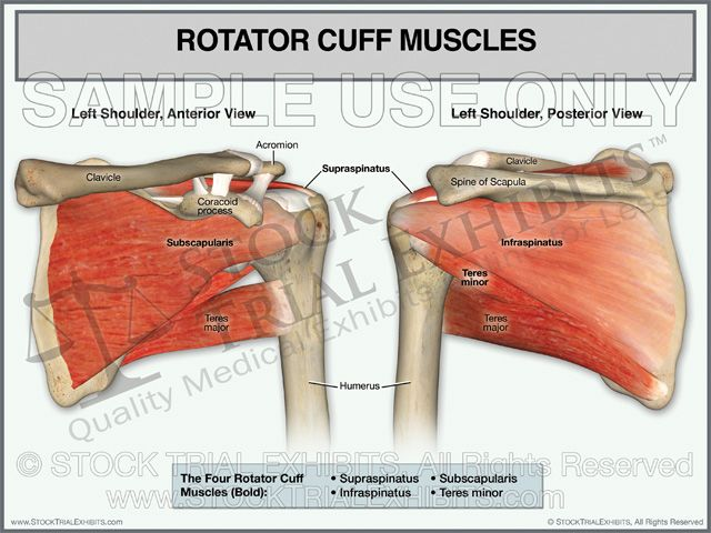 Rotator cuff muscles of left shoulder stock medical illustration ...