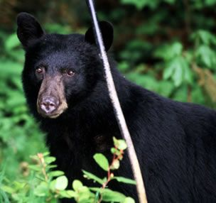 The American Black Bear Is The Most Common And Widely Distributed Bear In North America Black Bear American Black Bear Bear Species