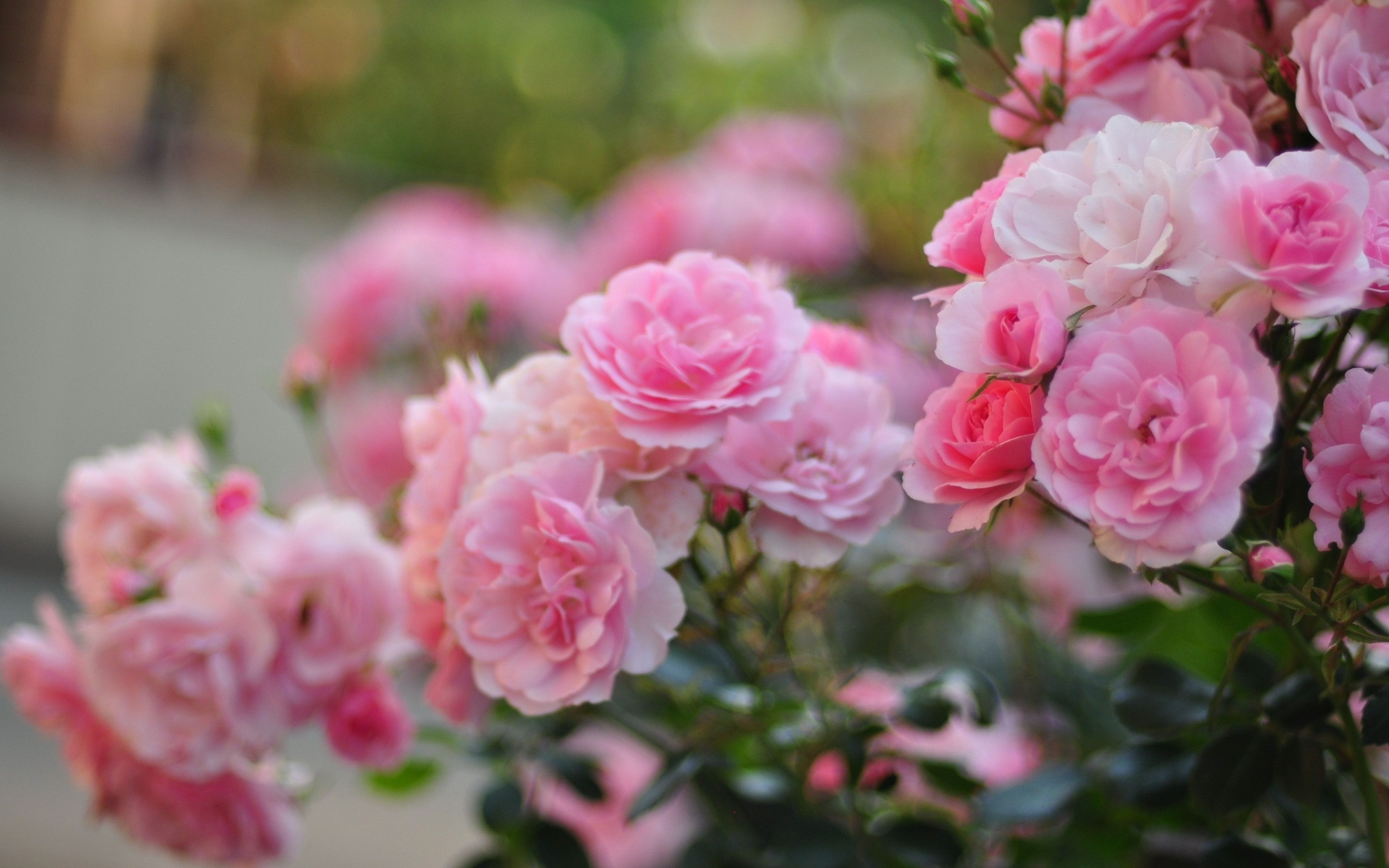 Desktop Wallpapers » Flowers Backgrounds » Light Pink Rose » www ... for Light Pink Flower Wallpaper  54lyp
