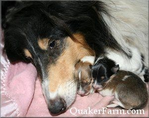 Newborn Rough Collie Puppies