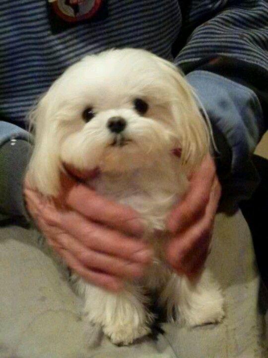 6ad15a57c5a3b47085ac0c4141034b39 Jpg 540 720 Pixels Maltese Dogs Teacup Puppies Maltese Maltese Puppy
