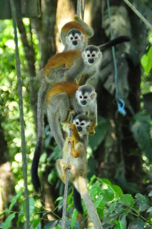 Titi Canopy Zip-line tour Manuel Antonio Costa Rica goo.gl/NWeXxm & Titi Canopy Zip-line tour Manuel Antonio Costa Rica goo.gl/NWeXxm ...