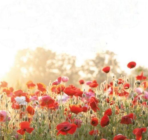 Mohnblumen Feld Mit Blumen Schone Blumen Mohnblume Bedeutung
