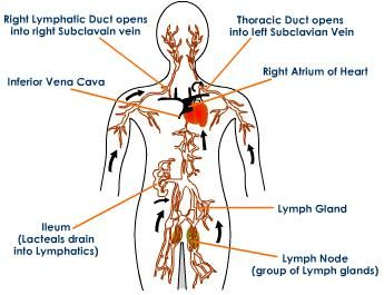 lymphedema drainage back | flow of drainage in human lymphatic ...