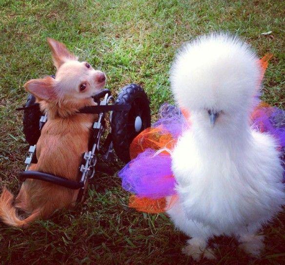 Roo e Penny il cane e il pollo amici per la pelle video - Cerco cane - Annunci gratuiti a quattro zampe. Notizie e info utili sul cane.