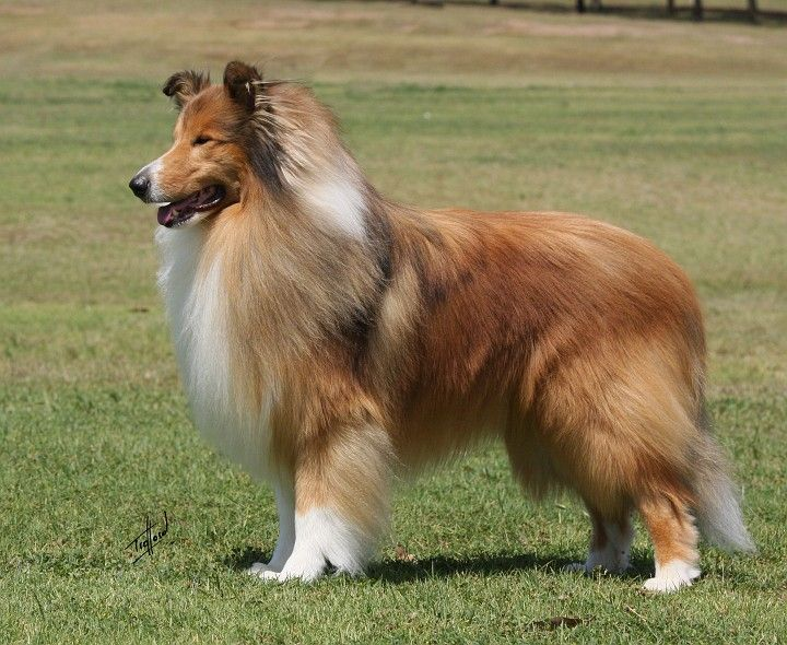 Gb Collie Rough Sable Fci G1 Dogs Collie Puppies Rough Collie