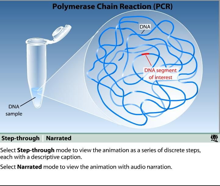 polymerase chain reaction animation