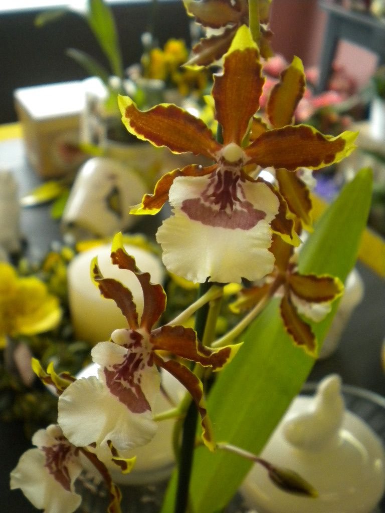 orchidee genre