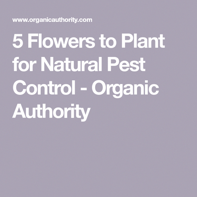 5 Flowers To Plant For Natural Pest Control Organic Authority Bestpestcontrol Pestcontrol Pestcontrolserv Pest Control Termite Control Natural Pest Control