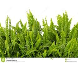 Image result for sword fern leaf