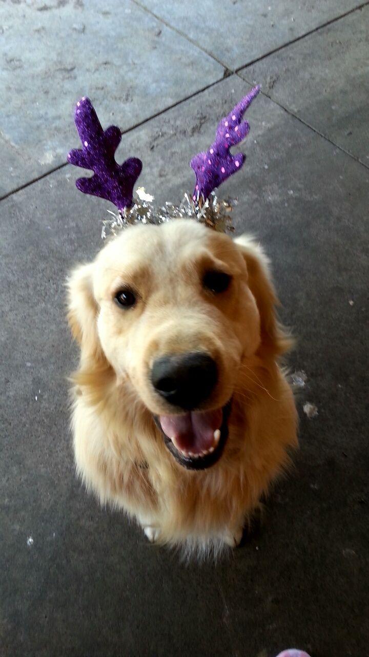 Murphy ;) (With images) Golden retriever labrador