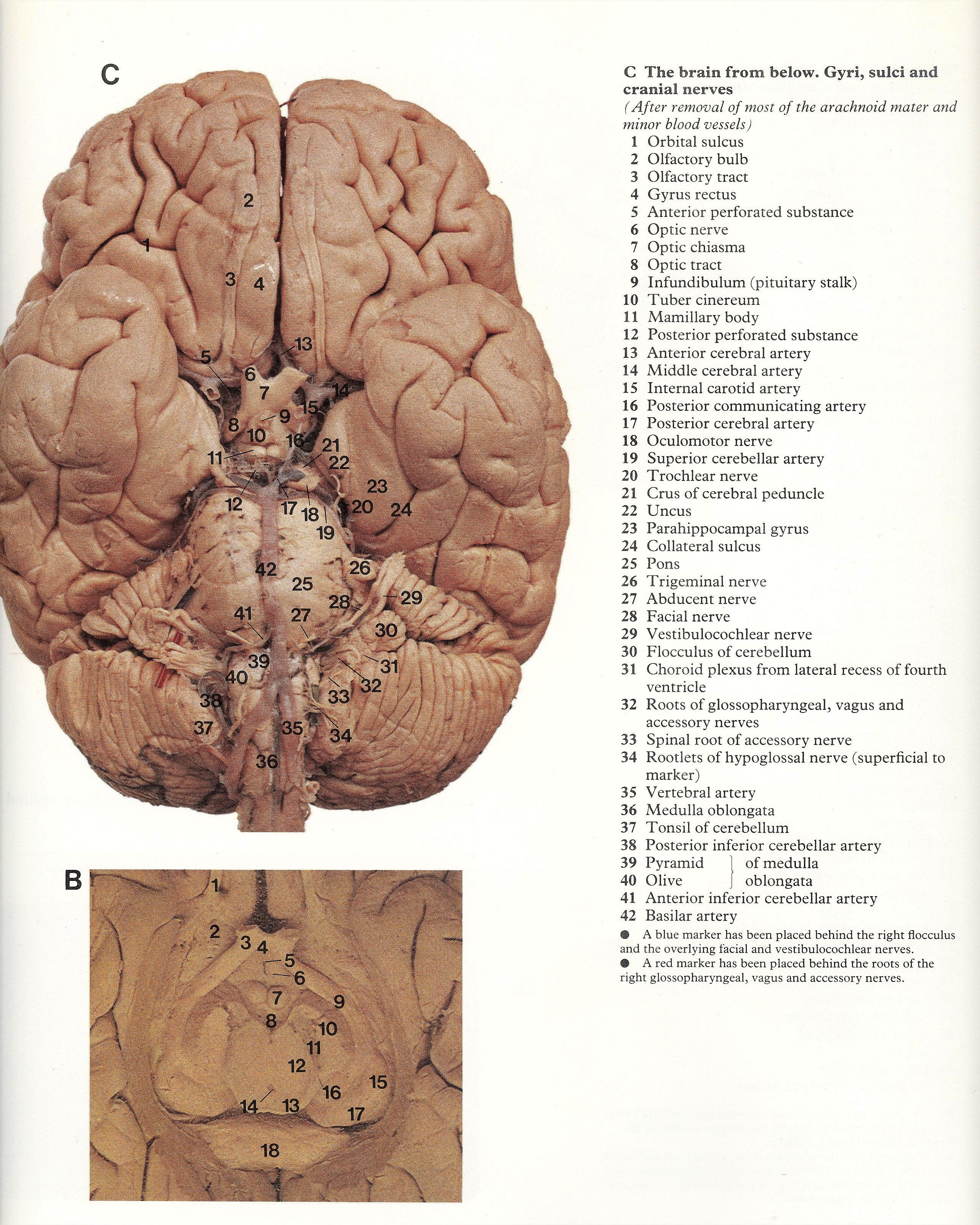 Pin by Bengt Sandberg on Part 1 of 6 - Head,Neck and Brain - A ...